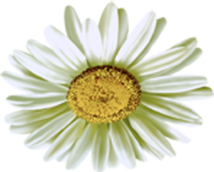 Camomile Flower PNG PNG Clip art