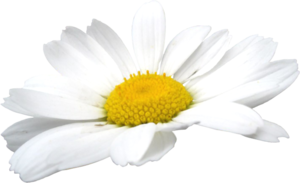 Camomile Flowers PNG PNG Clip art