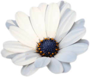 Camomile PNG HD Photo PNG Clip art