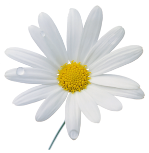 Camomile PNG Photos PNG Clip art
