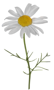 Camomile PNG Transparent File PNG Clip art