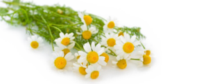 Camomile PNG Transparent Photo PNG Clip art