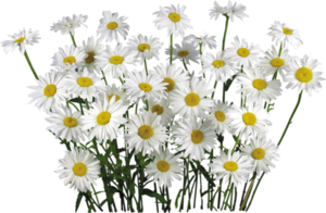 Camomile PNG Transparent PNG Clip art