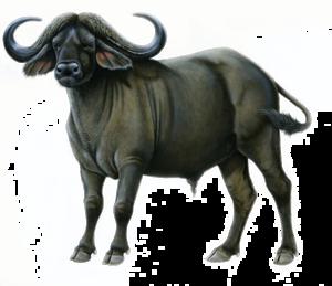 Cape Buffalo PNG Image PNG Clip art