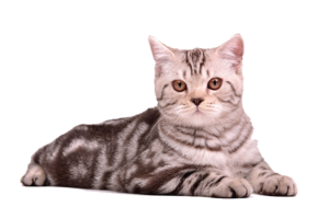 Cat Sitting PNG Clip art