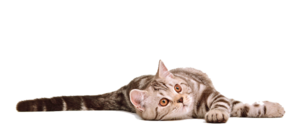 Cat Transparent Background PNG clipart