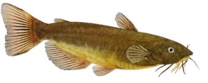 Catfish PNG Image PNG clipart