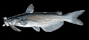 Catfish PNG Transparent Image PNG Clip art