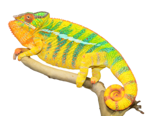 Chameleon PNG Photos PNG Clip art