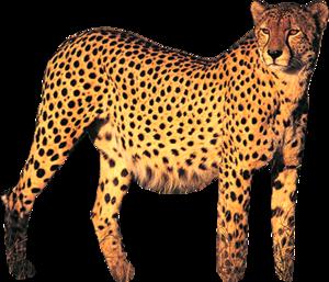 Cheetah PNG Photo PNG Clip art