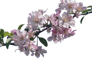 Cherry Blossom PNG File PNG Clip art