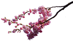 Cherry Blossom PNG Image PNG Clip art