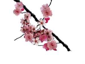 Cherry Blossom PNG Clip art