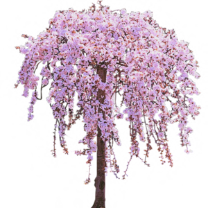 Cherry Tree PNG Clipart PNG Clip art