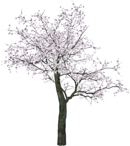 Cherry Tree PNG Transparent Image PNG Clip art