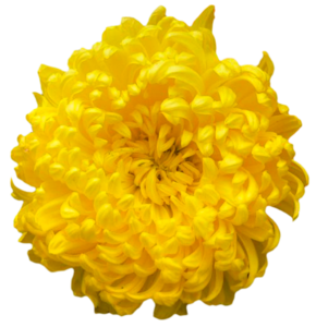 Chrysanthemum PNG Clipart PNG Clip art