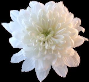 Chrysanthemum PNG File PNG Clip art