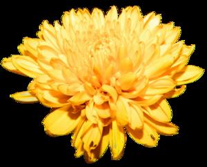Chrysanthemum PNG Free Download PNG Clip art