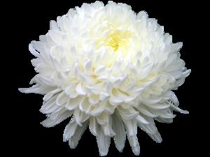 Chrysanthemum PNG HD PNG Clip art