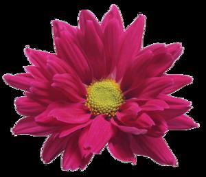 Chrysanthemum PNG Pic PNG Clip art