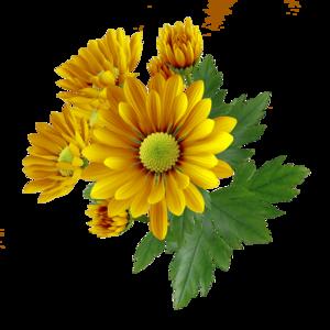 Chrysanthemum PNG Transparent Image PNG Clip art