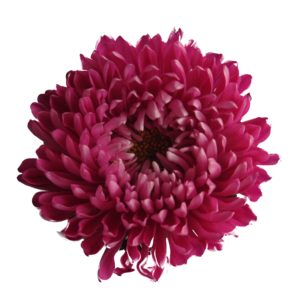 Chrysanthemum Transparent Background PNG Clip art
