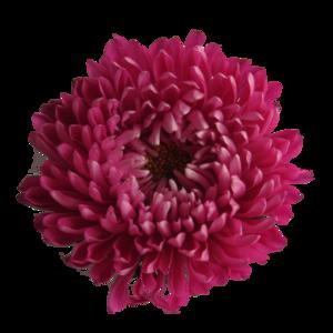 Chrysanthemum Transparent Background PNG Clip art