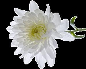 Chrysanthemum Transparent PNG PNG Clip art