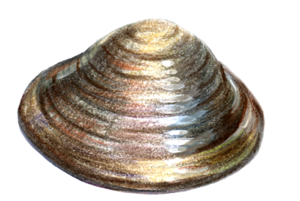 Clams PNG Free Download PNG Clip art