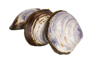 Clams PNG Photo PNG Clip art