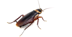 Cockroach PNG Clipart Background PNG Clip art