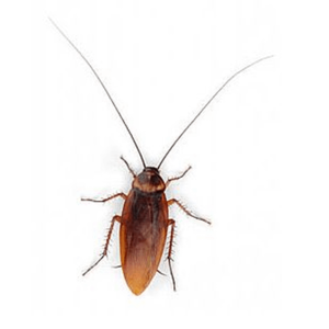 Cockroach PNG Download Image PNG Clip art