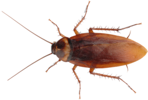 Cockroach PNG Image Free Download PNG Clip art