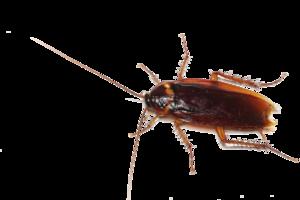 Cockroach Transparent PNG PNG Clip art