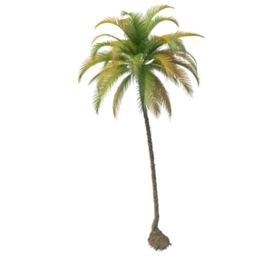 Coconut Tree PNG File PNG Clip art