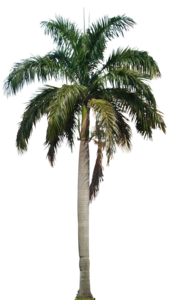 Coconut Tree PNG HD PNG clipart