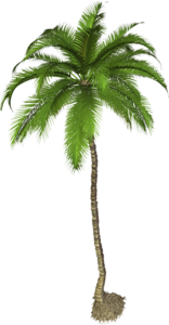 Coconut Tree PNG Photo PNG Clip art