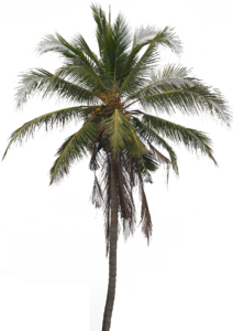Coconut Tree PNG Pic PNG Clip art