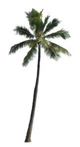 Coconut Tree PNG Picture PNG Clip art