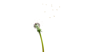 Colored Dandelion PNG Pic PNG Clip art