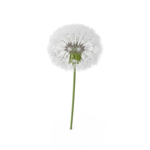 Colored Dandelion PNG Transparent Image PNG Clip art