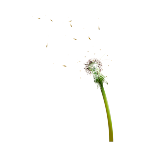 Colored Dandelion Transparent Background PNG Clip art