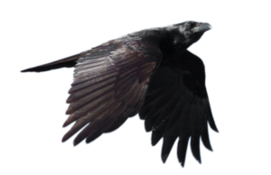 Common Raven PNG Background Image PNG Clip art