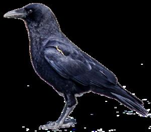 Common Raven PNG Clipart PNG Clip art