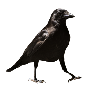 Common Raven PNG HD PNG Clip art
