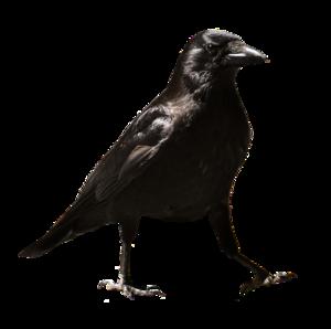 Common Raven PNG HD PNG Clip art