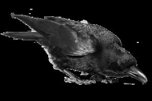 Common Raven PNG Image PNG Clip art