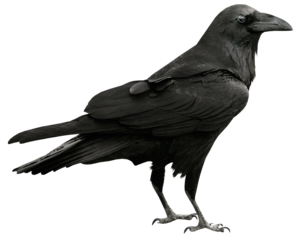 Common Raven PNG Transparent PNG Clip art
