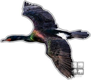 Cormorant PNG Background Image PNG Clip art