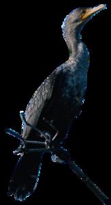Cormorant PNG Photos PNG Clip art